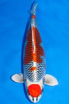 Maruten Kujaku Koy Fish, Koi Carp Fish, Fish Ponds, Koi Art, Fish Art, Goldfish Pond, Koi Fish Tattoo, Japanese Koi, Pond Design