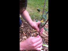 How to bud graft your trees in the summer