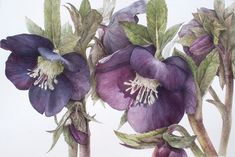Learn botanical art from Elaine Searle, award-winning artist and tutor. I offer online tuition, workshops and botanical art holidays. Botanical Drawings, Botanical Illustration, Watercolor Illustration, Botanical Flowers, Botanical Prints, Watercolor Flowers, Watercolor Paintings, Watercolours, Impressions Botaniques