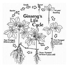 Growing American Ginseng in Ohio: Site Preparation and Planting Using the Wild- Simulated Approach Growing Ginseng, Growing Herbs, Edible Mushrooms, Stuffed Mushrooms, Ginseng Plant, Mushroom Grow Kit, Growing Mushrooms, Wild Edibles, Farm Gardens
