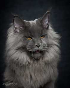 Mythical Beasts: Photographer Captures The Majestic Beauty Of Maine Coons …
