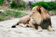 Lion Images, Animals Images, Pet Day, High Quality Images, Big Cats, Lions, Artwork, Larry, Martial Arts