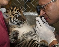 I wish working with big cats at a zoo was a practical concentration for me in vet school...