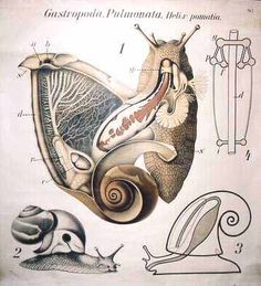 Anatomy of a Snail--would look cool framed.
