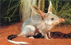 A bilby-an endangered species from Australia
