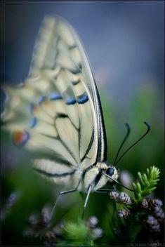 Butterfly  (by msx3 ~ Mattias, via Flickr)