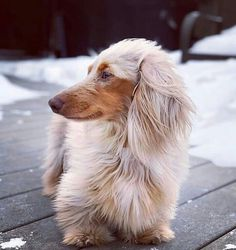 Dog And Puppies Art Gorgous Dachshund.Dog And Puppies Art Gorgous Dachshund Dachshund Breed, Dachshund Funny, Dapple Dachshund, Long Haired Dachshund, Dachshund Love, Long Hair Daschund, Funny Dogs, Cute Puppies, Cute Dogs