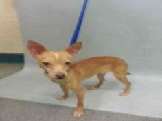 TO BE DESTROYED 05/25/16  -***NH RESCUE ONLY***Noah came into the shelter as a stray on 5/20. He's a little Chi pittie mix, 2 breeds that the ACC sees too much of and puts on the TBD list way to fast. Little dogs can sometimes be quirky and the shelter doesn't like it if a dog doesn't