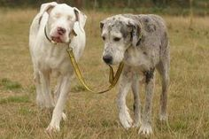 """Lily, a great dane lost his eyesight due to a rare disease. He became disheartened until he met Madison. They have been together for 5 years and Madison guides Lily by the leash and touches him to make sure he doesn't stumble over anything."" True Friendship. Wow~ oneworld"