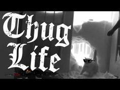 Thug Life   Ultimate Cats Thug Life Compilation   Funny videos