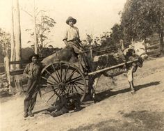 Three boys and a bullock cart, Walhalla, Victoria, Museum Victoria, Australia Historical Pictures, Historical Sites, Old Pictures, Old Photos, Victorian Gold, Photographs Of People, Victoria Australia, Bullock Cart, Back In The Day