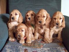 English Cocker Spaniel Pups ~ Classic Look Perro Cocker Spaniel, Cocker Spaniel Anglais, Cocker Spaniel Breeds, Golden Cocker Spaniel, American Cocker Spaniel, English Cocker Spaniel, Baby Dogs, Pet Dogs, Dogs And Puppies