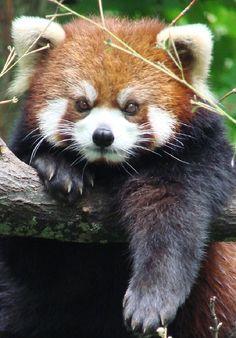 RED PANDA Credit: Paula Longshore
