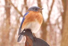blue bird- picture taken by my mom