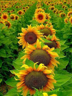 Girasoles la flor del Dios Sol