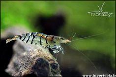 "Caridina cf. Cantonensis ""Tiger"" - 2.5/3cm - Fond - 20°/26° - Ph 6 à 7 - GH 3 à 10 - KH<4"