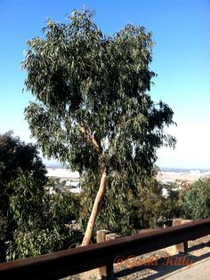 Hilltop Trail Loop in Signal Hill, California. 2014 This is a Eucalyptus tree!!  #genkikitty #california #eucalyptus