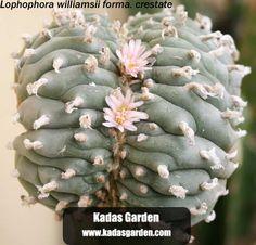 -Lophophora williamsii - Google Search