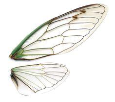 Dog-day cicada (Tibicen sp.) wings scanned on a regular desktop scanner. See article