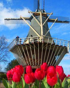 Keukenhof Tulipa Moinho Holanda