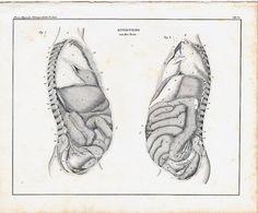 1843 anatomía victoriana grabado vísceras entrañas tripas