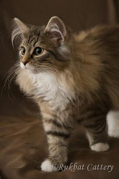 Norwegian forest cat kitty