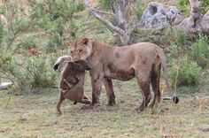 A brave baboon attempted to make a run for it. Unfortunately, a lioness caught it. As the baboon died, the photographers noticed a baby baboon slowly disengaging itself from its underside.