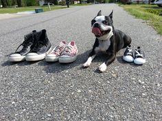 Converse shoes maternity with our boston terrier!