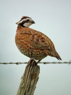 Always loved hearing their little Bobwhite song.  Dad brought in some quail one night and Mom fixed them for supper.  They were delicious until someone let slip that we were eating Bobwhites.  Frank and I gagged as though we'd been cannibalizing someone dear... Bobwhite quail /Jacquelineand/