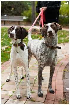 German Shorthair Pointer - Brittany Hull Pet Photography