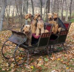 Airedales in a sleigh wishing for snow! WishfulThinking