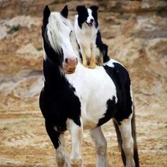 Horse and Sheep Dog