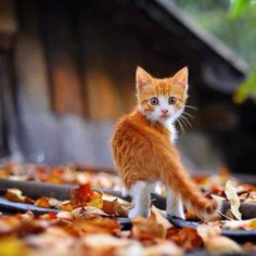 Where do you think you're going little Ginger cat? Crestfallen, the little kitty dutifly turns around and returns to her human. Another Feline Frolic among Fallen leaves Foiled. Funny Cats, Funny Animals, Cute Animals, Cute Kittens, Cats And Kittens, I Love Cats, Crazy Cats, Beautiful Cats, Animals Beautiful