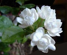 Jasmine which can be infused in hot water for drinking
