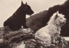 A Scottish and a West Highland White Terrier from a Victorian era postcard