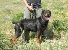 Siomara, #Rottweiler, 6,5 Jahre, verträglich