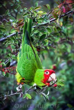 Tropical Birds, Exotic Birds, Colorful Birds, Bird Barn, Barn Owls, Animals And Pets, Cute Animals, Budgies, Parrots