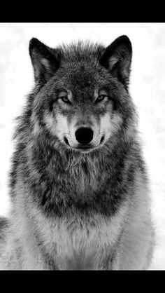 An alpha stands tall and never fails the pack