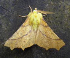 Canary-shouldered Thorn (Ennomos alniaria) 1.