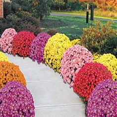 Monster Mum Mix This collection contains one each of the following items:      Red Daisy     Yellow Quill     Lavender Daisy     Bronze Daisy     Coral Daisy  Product Information: Light: Full sun to partial shade Height: 2-3' Bloom Time: Late summer through fall Size: Potted Zones: 3 to 9 5 for $32.99