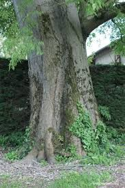 Résultats de recherche d'images pour «micocoulier arbre» Images, Plants, Windows, Search, Plant, Planets