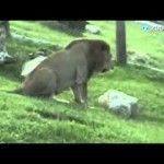 Touching: Freed Circus Lion Touches Grass First Time