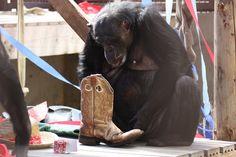 Negra hoping there might be a treat in that boot. #chimpanzees #chimpanzeesanctuary