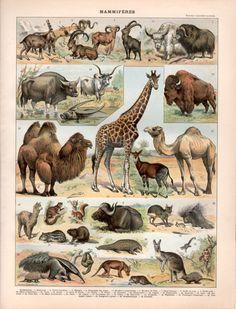 1897 los mamíferos antiguos animales africanos grabado ilustración cartel cuadro jirafa oso hormiguero camello Búfalo Bisonte marsupiales caballos cerdos razas de perros