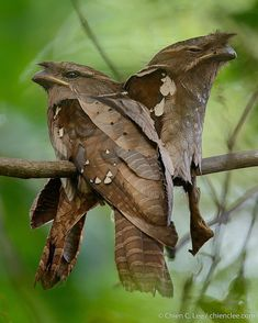 Birds A pair of Dulit Frogmouth (Batrachostomus harterti) on their nest. This rare frogmouth is endemic to the mountains of northern Borneo. Photo by Chien Lee Pretty Birds, Beautiful Birds, Animals Beautiful, Cute Animals, Animals Dog, Wild Animals, Rare Birds, Exotic Birds, Colorful Birds