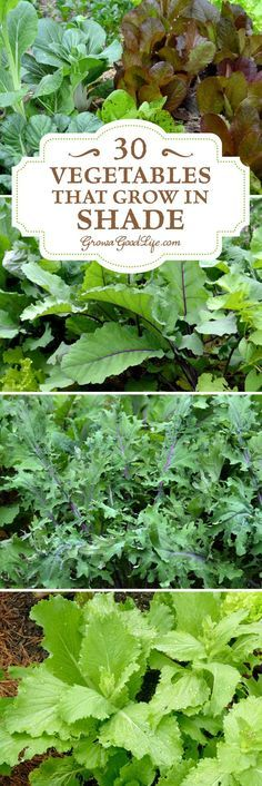 Do you have an area of your garden that is shaded part of the day? If you think you can't grow anything there, you are wrong. There are many vegetables that grow in shade. Some even thrive when sheltered from the intense rays from the summer sun. Consider