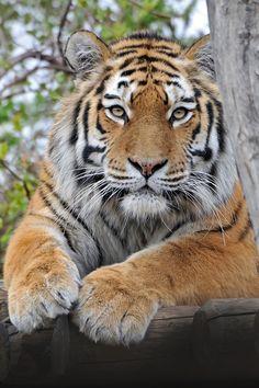 Tiger at rest by Josef Gelernter