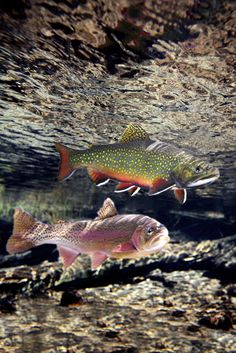 Rainbow and Brook Trout, Williamson River, Oregon Trout Fishing Tips, Fishing Lures, Fishing Canoe, Canoe Boat, Fishing Rods, Fishing Tricks, Walleye Fishing, Sport Fishing, Carp Fishing
