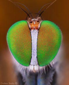 """Dolichopus wahlbergi"" by Kvejlend (Dusan Beno), check out more inspiring photos at 500px.com"