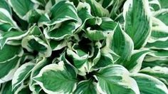 Hostas get larger and more attractive with each passing year.diy bug spray to stop holes in leaves